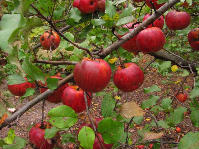 Red Prairie Spy Apple