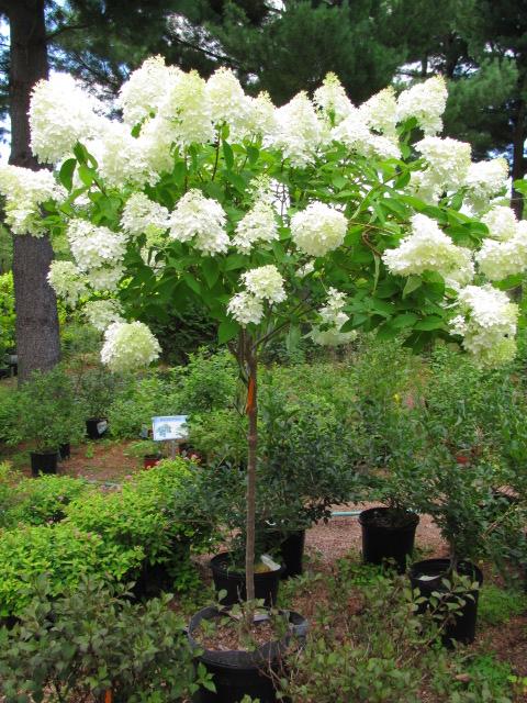 Deciduous Shade Ornamental Trees