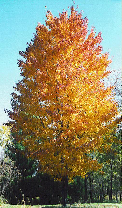 Shade Trees Wiltrout Nursery Chippewa Falls Wi